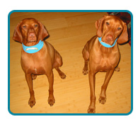 Southern California Vizsla Rescue - Available Adoptions - Remi & Blaize