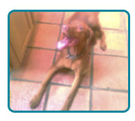 Southern California Vizsla Rescue - Available Adoptions - Beau
