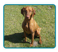 Southern California Vizsla Rescue - Available Adoptions - Buckshot
