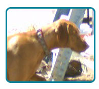Southern California Vizsla Rescue - Available Adoptions - Czar
