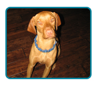 Southern California Vizsla Rescue - Available Adoptions - Dylan
