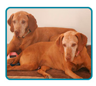 Southern California Vizsla Rescue - Available Adoptions - Gracie & Buddy