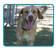 Southern California Vizsla Rescue - Available Adoptions - Oliver