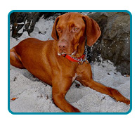 Southern California Vizsla Rescue - Available Adoptions - Gunner