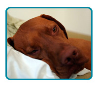 Southern California Vizsla Rescue - Available Adoptions - Dawson