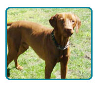 Southern California Vizsla Rescue - Available Adoptions - Logan