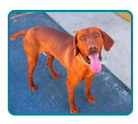 Southern California Vizsla Rescue - Available Adoptions - Lucky