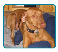 Southern California Vizsla Rescue - Available Adoptions - Malia