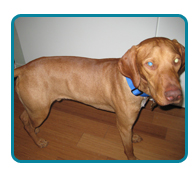 Southern California Vizsla Rescue - Available Adoptions - Murphy