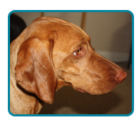 Southern California Vizsla Rescue - Available Adoptions - Plex