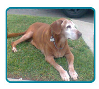 Southern California Vizsla Rescue - Available Adoptions - Reilly