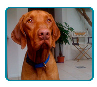 Southern California Vizsla Rescue - Available Adoptions - Rocky