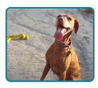 Southern California Vizsla Rescue - Available Adoptions - Rusty
