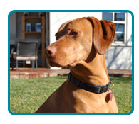 Southern California Vizsla Rescue - Available Adoptions - Sadie