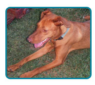 Southern California Vizsla Rescue - Available Adoptions - Scarlet