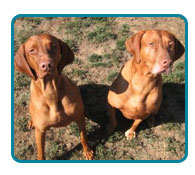 Southern California Vizsla Rescue - Available Adoptions - Zori & DC