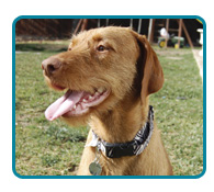 Southern California Vizsla Rescue - Available Adoptions - Gretyal